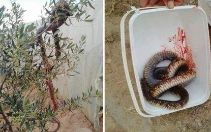 Sfax : Agareb lance la chasse aux serpents qui ont fait deux victimes