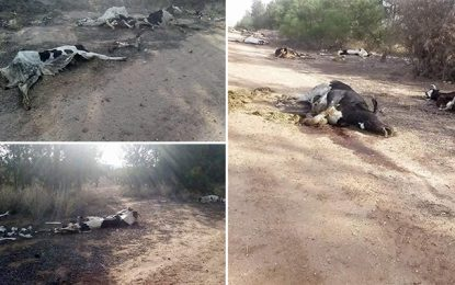 Des dizaines de vaches mortes dans un complexe agricole à El-Krib