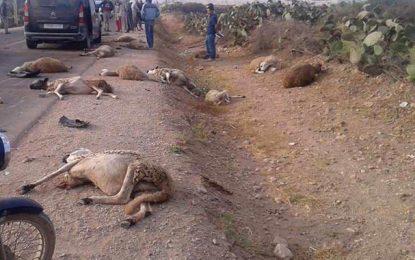Sousse : Un chauffard massacre un troupeau de moutons