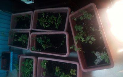 Des plantes de marijuana et une arme à feu saisis à Sousse