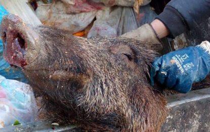 Lac 2 : Une tête de sanglier dans une poubelle alimente des intox