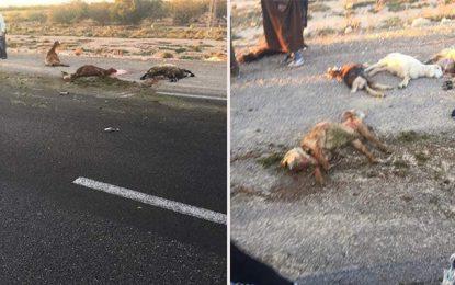Kasserine : Un contrebandier décime un troupeau de moutons