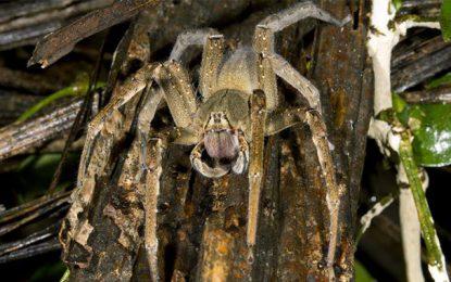 Troubles érectiles : Le venin d'araignée pour remplacer le viagra
