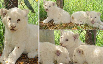 Parc Friguia: Les 3 lionceaux blancs se portent comme un charme