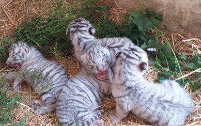 Carnet rose : Quatre tigreaux voient le jour au parc Friguia à Enfidha