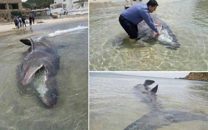 Béja : Un requin de près de 6 mètres et pesant 1 tonne échoue à Cap Negro