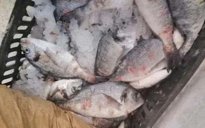 Daurades impropres à la consommation dans les marchés: Comment reconnaître le poisson infecté