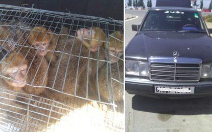 Manouba: Huit singes protégés sauvés d'un trafic d'animaux avec l'étranger