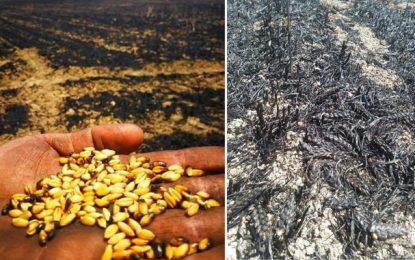 Incendie dans un champ de blé à Siliana : Un homme placé en garde à vue
