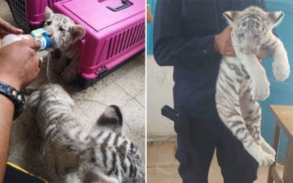 Les tigreaux blancs du parc Friguia saisis dans… la voiture d'un Libyen à Ben Guerdane !
