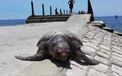 Une tortue marine s'échoue sur la corniche de Nabeul : Halte à la pollution !