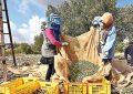 Mahdia s'attend à une récolte de 250.000 tonnes d'olives en novembre 2019