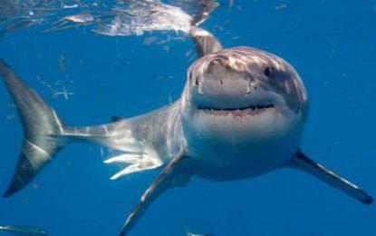 Les Tunisiens, 2e plus gros pêcheurs des requins, espèce menacée d'extinction, en Méditerranée