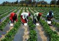 Sidi Bouzid : les grandes exploitations agricoles prospèrent sur le dos des ouvrières