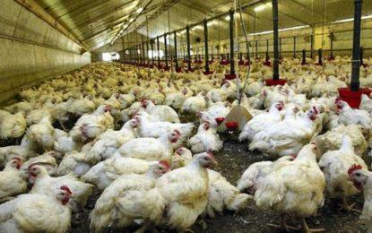 Tunisie : Les éleveurs de volailles font part de pertes énormes
