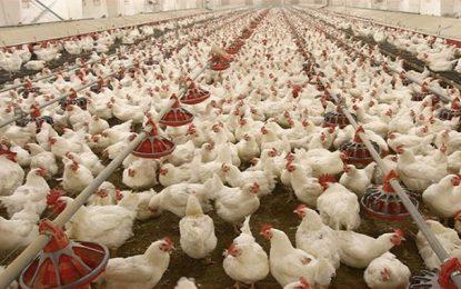 Appel de détresse du secteur avicole en Tunisie