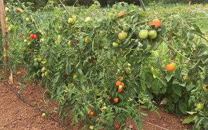 Le Cap Bon ne cultivera pas la tomate de transformation pour la saison 2020