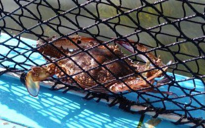 La valorisation industrielle du crabe «Daech» divise les Kerkenniens