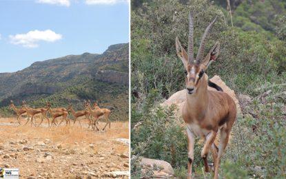 Siliana : Réintroduction de 33 gazelles de l'Atlas à Jbel Serj, vendredi 8 novembre 2019