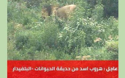 Belvédère : La municipalité de Tunis dément la fuite d'un lion du zoo