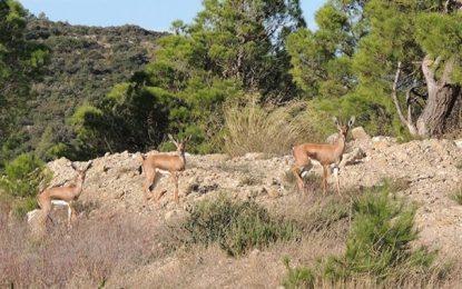 Tunisie : Après un siècle d'absence, 33 gazelles de l'Atlas retournent dans la nature à Jebel Serj (Photos)