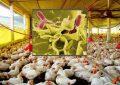 Tunisie : enquête sur un élevage de poulets atteint de salmonelle à Boumerdès