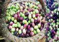 Meknassi : La collecte d'olives et les huileries en état d'arrêt