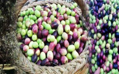 Tunisie : l'effondrement des prix des olives se poursuit pour le 3e mois consécutif