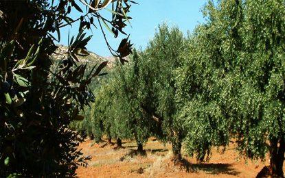 Sousse envisage de planter des oliviers sur 10.000 ha supplémentaires