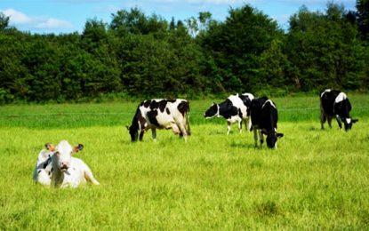 Cri d'alerte des éleveurs tunisiens : le cheptel bovin se réduit comme une peau de chagrin