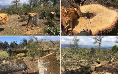 Abattage de 400 chênes zéens centenaires à Béni Mtir : Les auteurs placés en détention