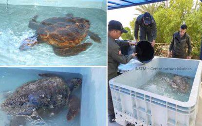 Tunisie : «Yosr» et «Ramzi», les tortues marines sauvées par la garde maritime de Kerkennah (Photos)