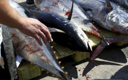 Gabès : Saisie de 1500 kg de thon rouge, menacé d'extinction et dont la pêche est interdite