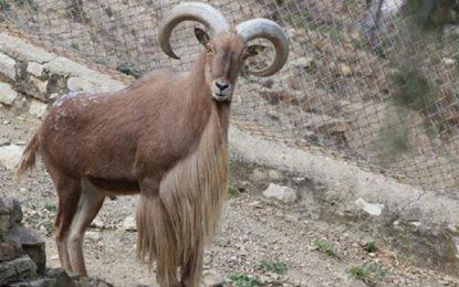 Introduction de dix mouflons à manchettes au parc national de Jebel Zaghouan