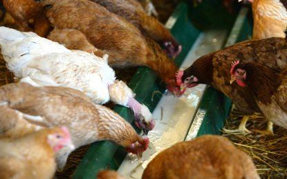 Tunisie : L'Utap appelle les agriculteurs à réduire de 50% la production de volaille