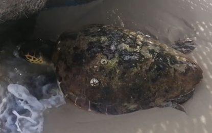 Tunisie : Mobilisation pour le sauvetage d'une tortue marine, échouée sur une plage de Hammamet